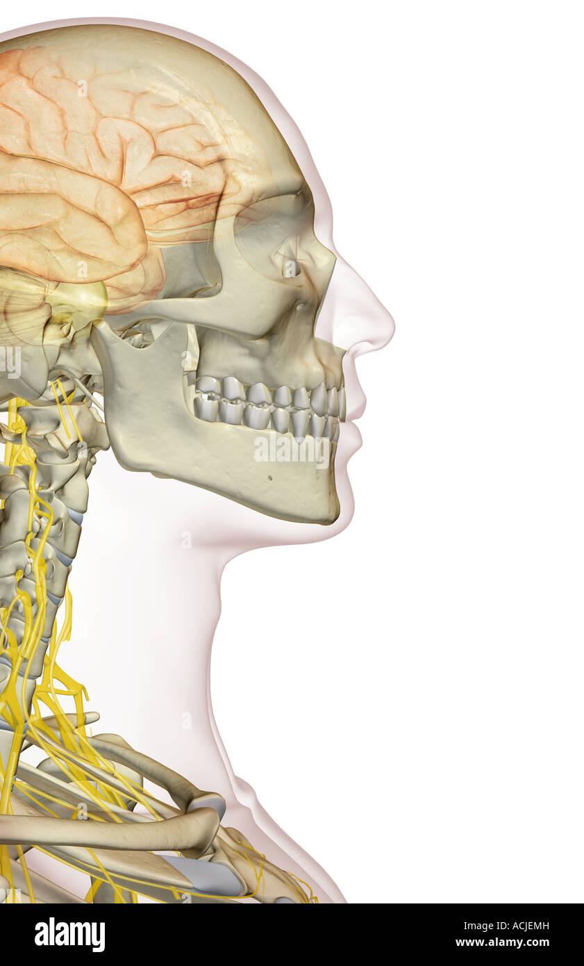 Berühmt Anatomie Höhlen Des Kopfes Bilder - Menschliche Anatomie ...