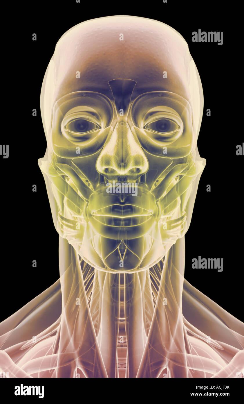 Die Muskeln von Kopf, Hals und Gesicht Stockfoto, Bild: 13169970 - Alamy