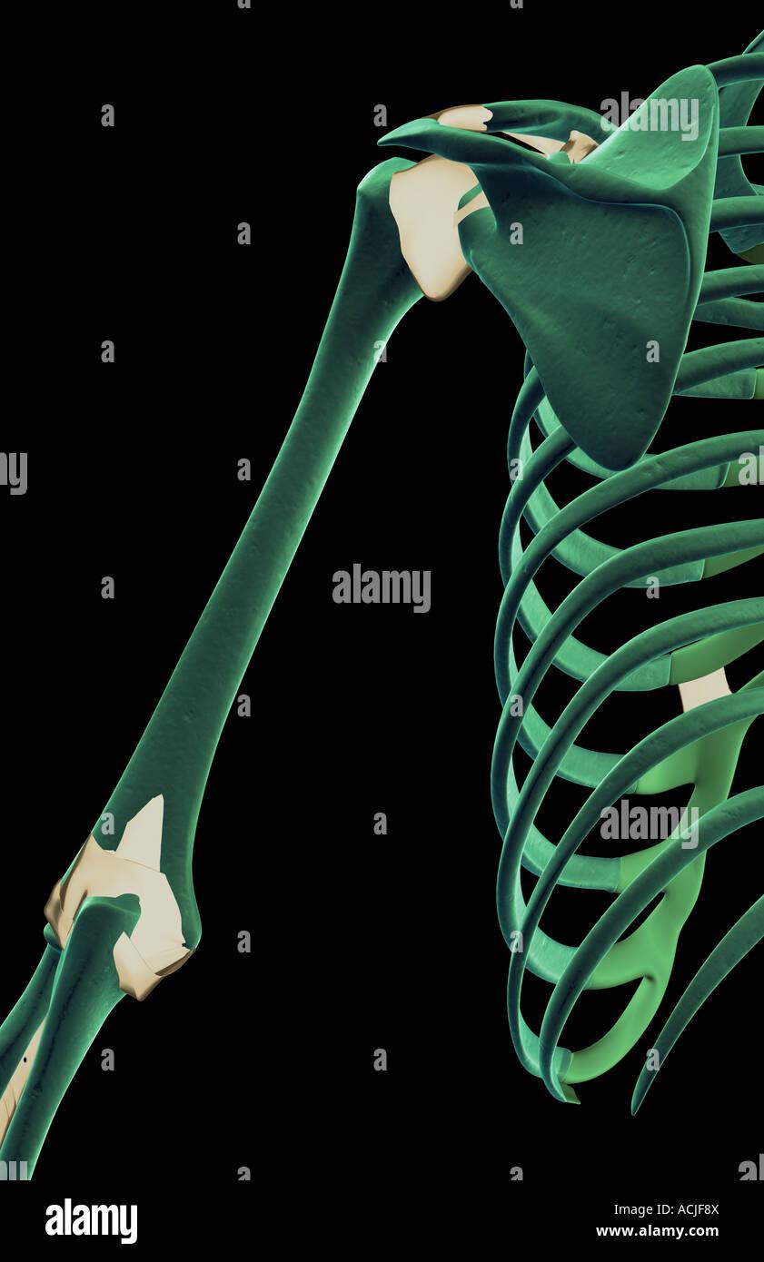 Die Bänder der Schulter Stockfoto, Bild: 13170073 - Alamy