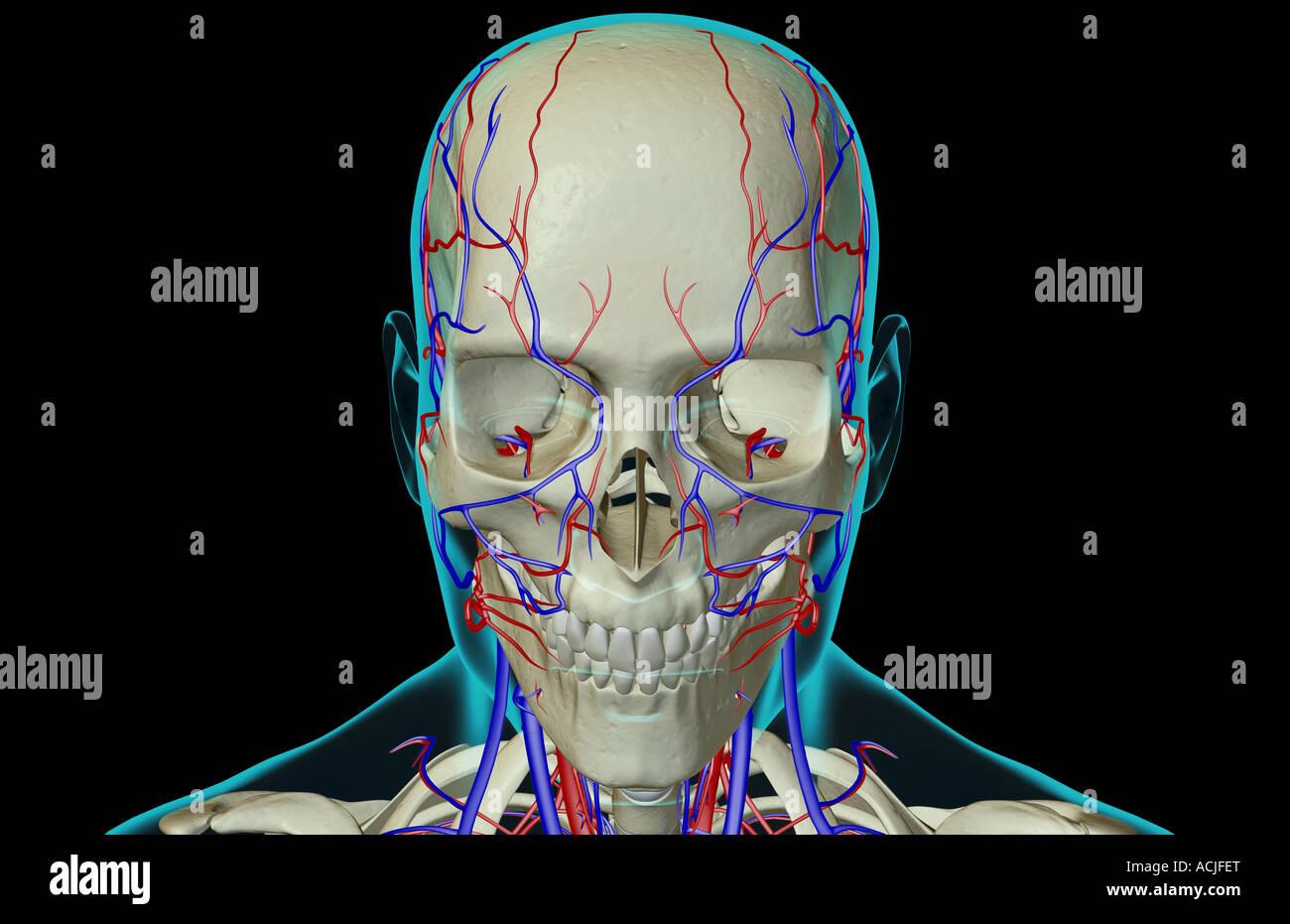 Das Blut-Versorgungsmaterial von Kopf und Gesicht Stockfoto, Bild ...