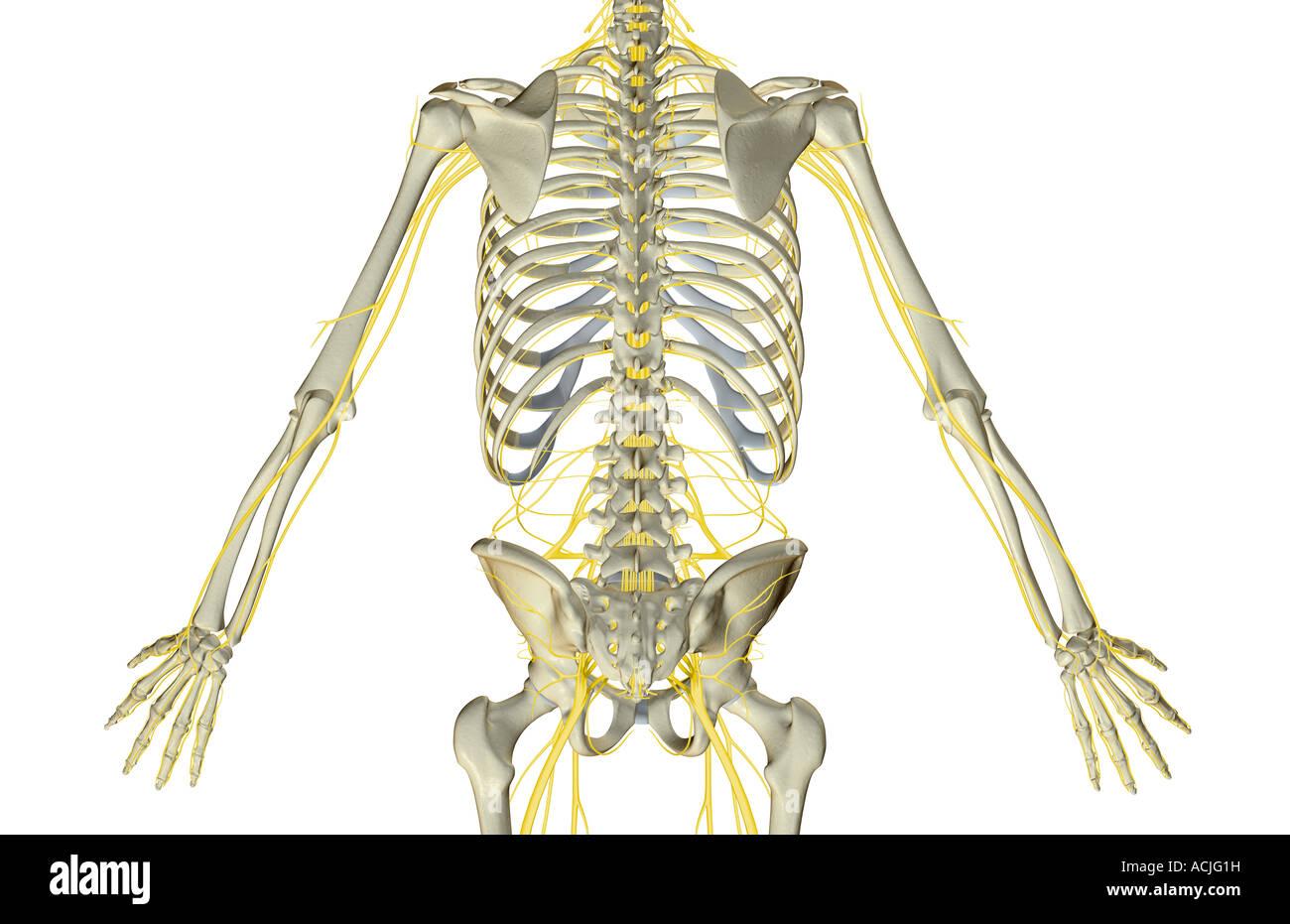 Die Nerven des Rumpfes Stockfoto, Bild: 13170316 - Alamy