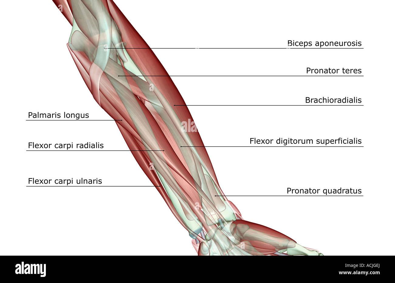 Ausgezeichnet Nerven Im Arm Galerie - Anatomie Und Physiologie ...