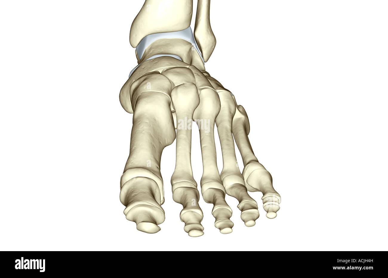 Die Knochen des Fußes Stockfoto, Bild: 13170688 - Alamy