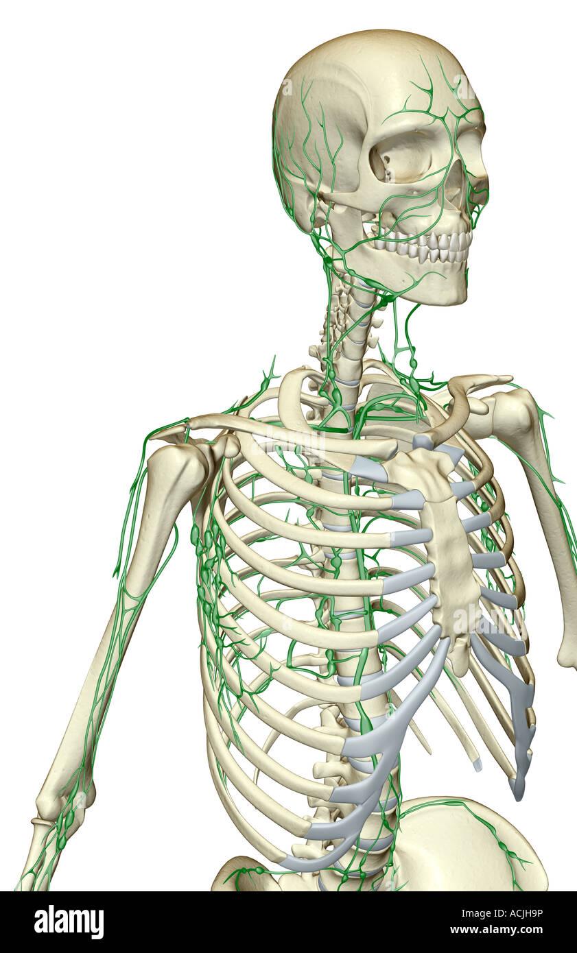 Groß Lymphsystem Kopf Bilder - Menschliche Anatomie Bilder ...
