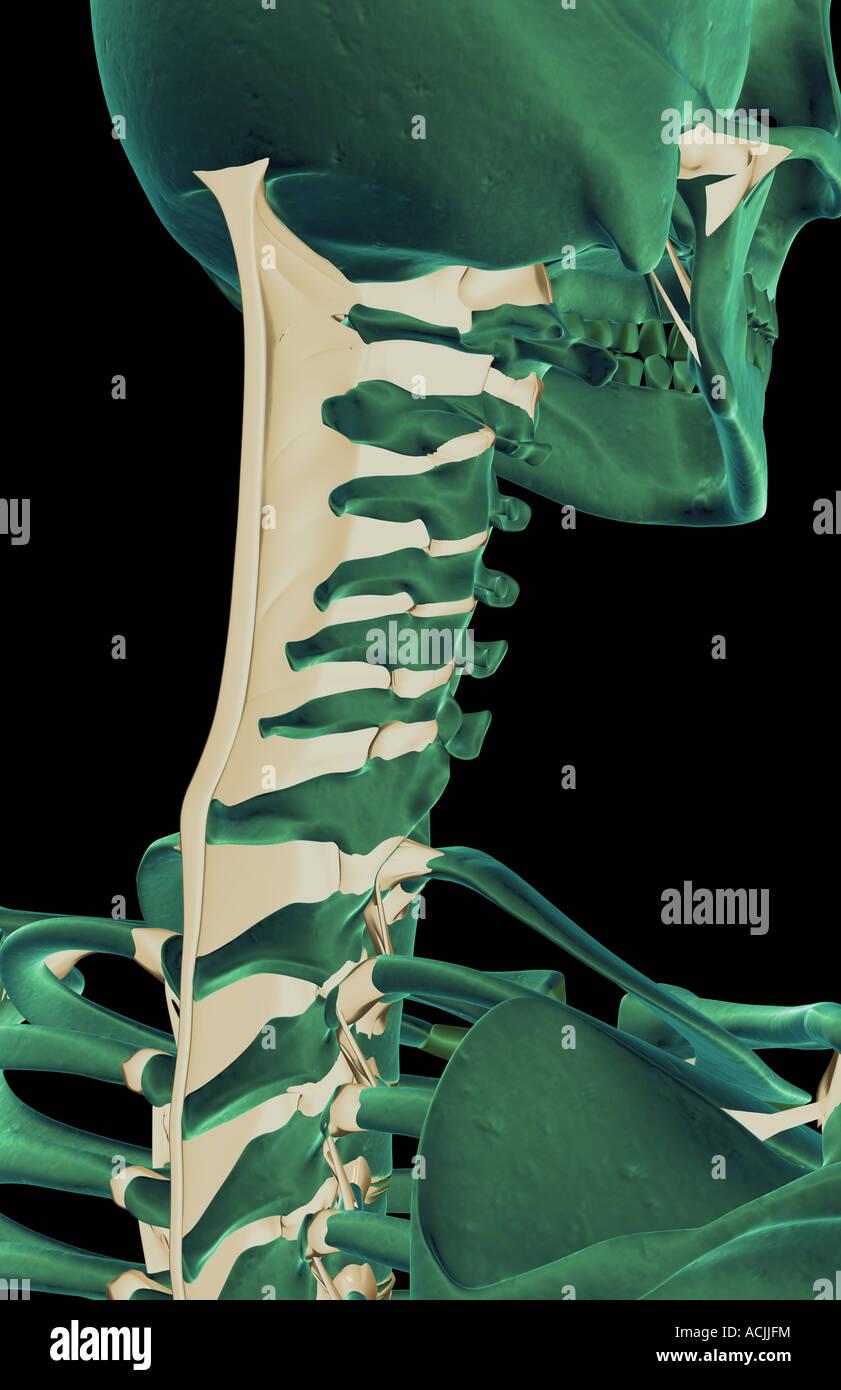 Die Bänder im Nacken Stockfoto, Bild: 13171159 - Alamy