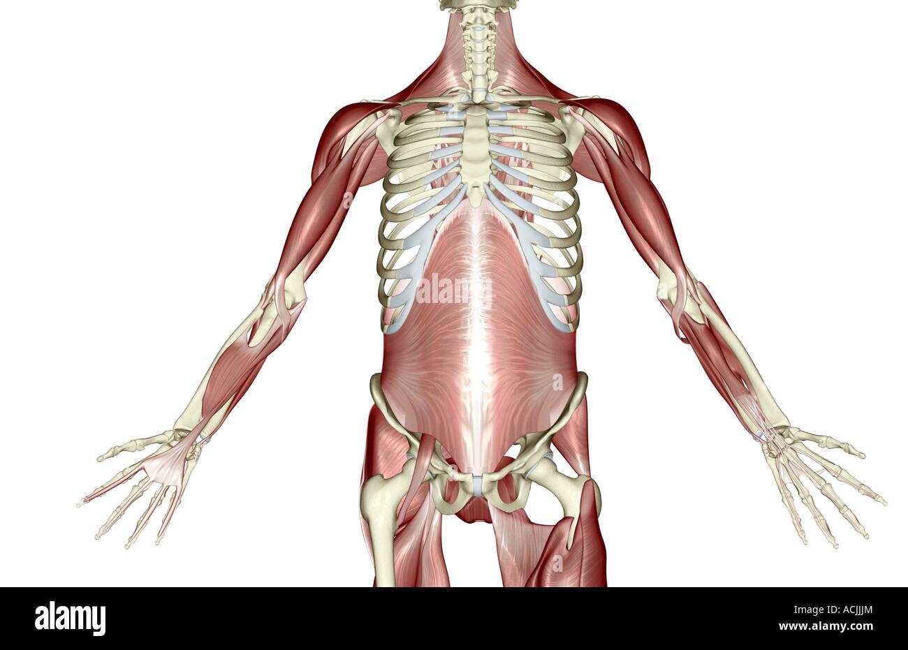Wunderbar Obere Extremität Muskel Anatomie Zeitgenössisch - Anatomie ...
