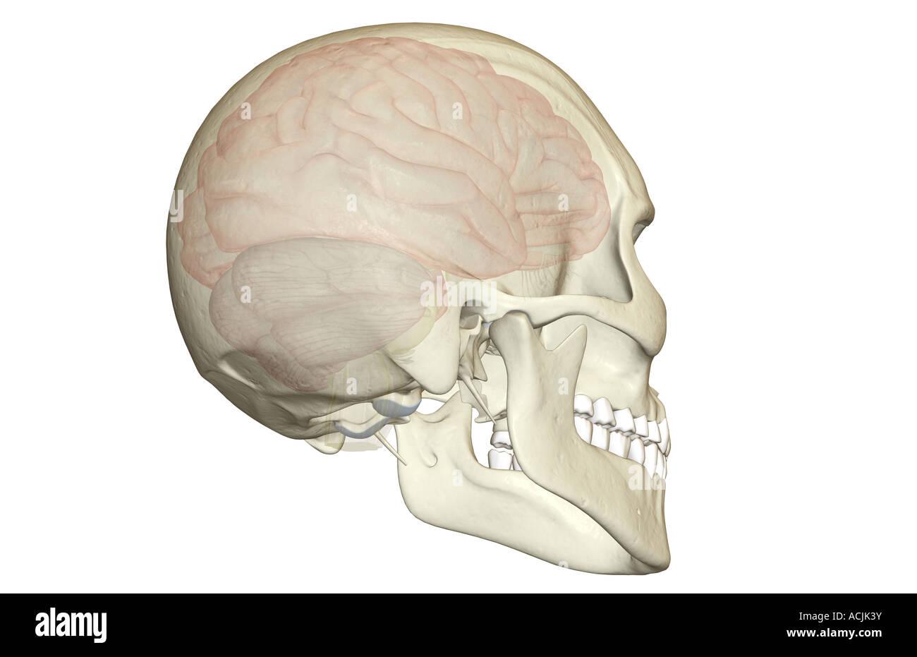 Cerebral Hemisphere Stockfotos & Cerebral Hemisphere Bilder - Alamy