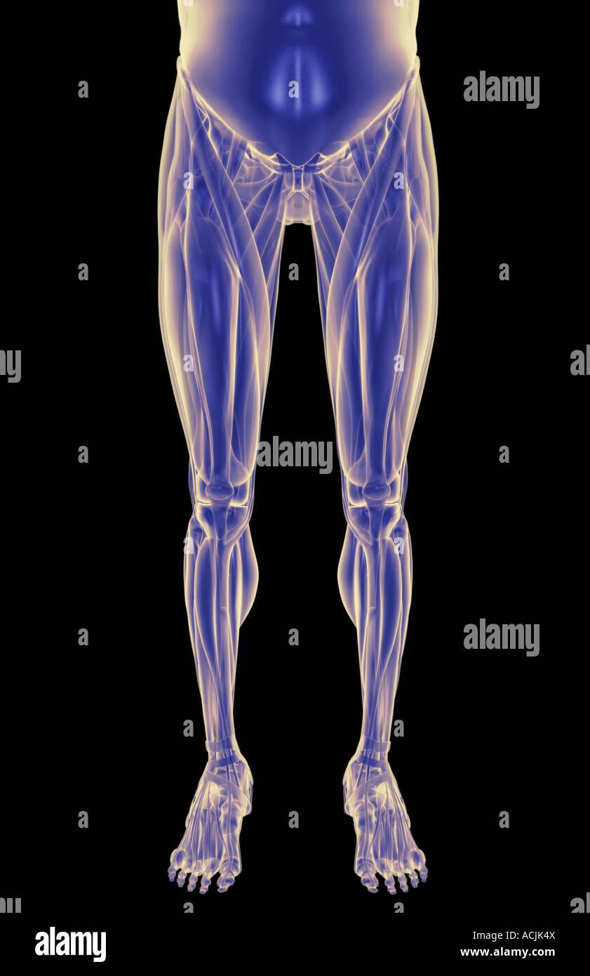 Wunderbar Shin Muskeln Anatomie Bilder - Anatomie Von Menschlichen ...