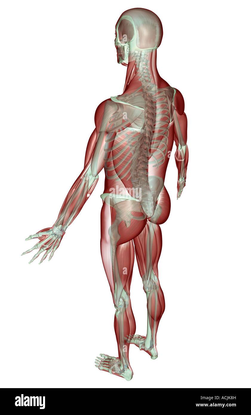 Nett Muskelskelett Galerie - Anatomie Und Physiologie Knochen Bilder ...
