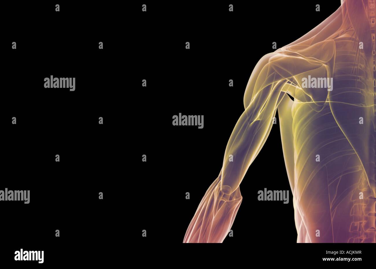Die Muskeln der Schulter und Oberarm Stockfoto, Bild: 13171558 - Alamy