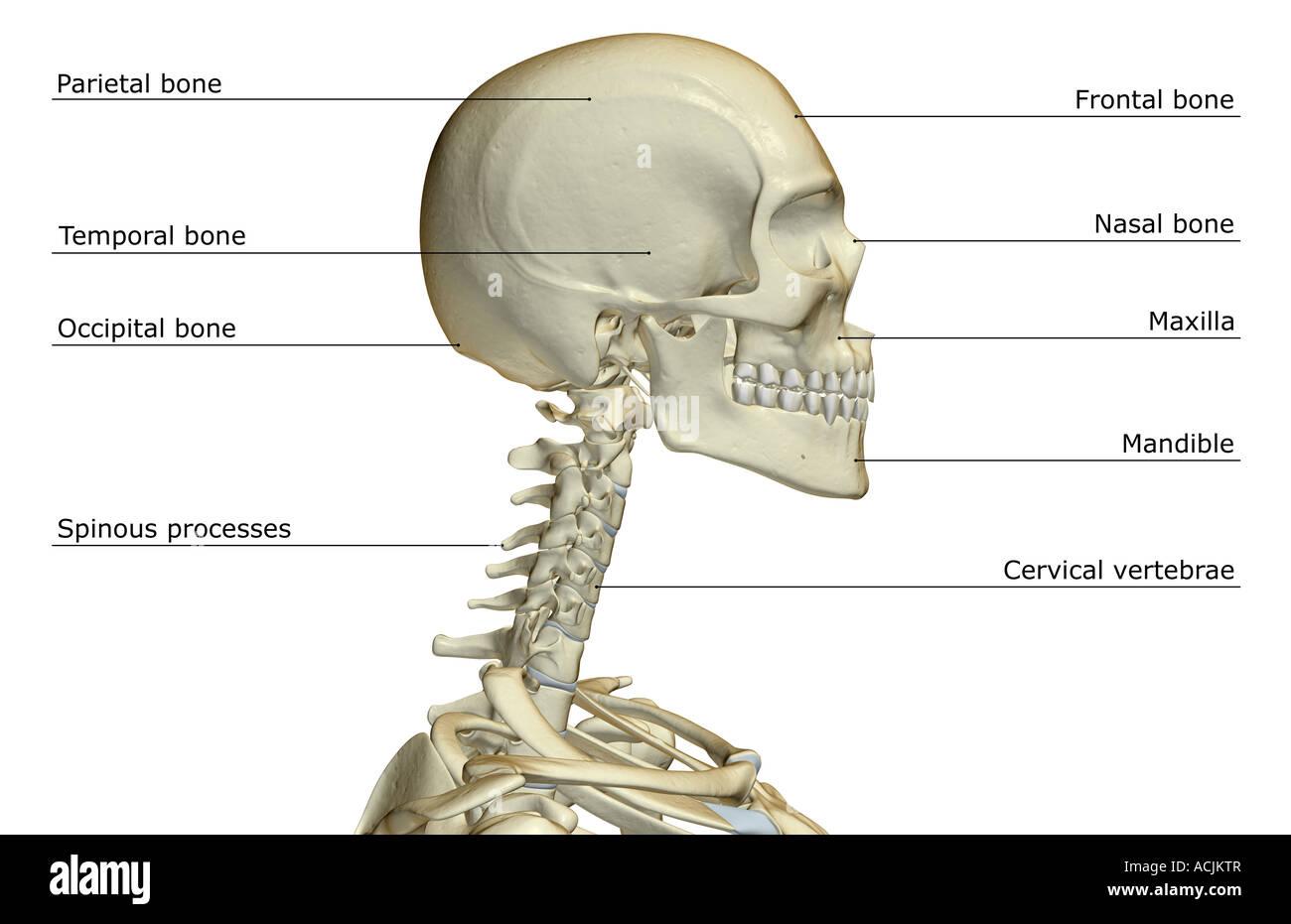 Niedlich Anatomie Des Kopfes Knochen Ideen - Anatomie Ideen ...