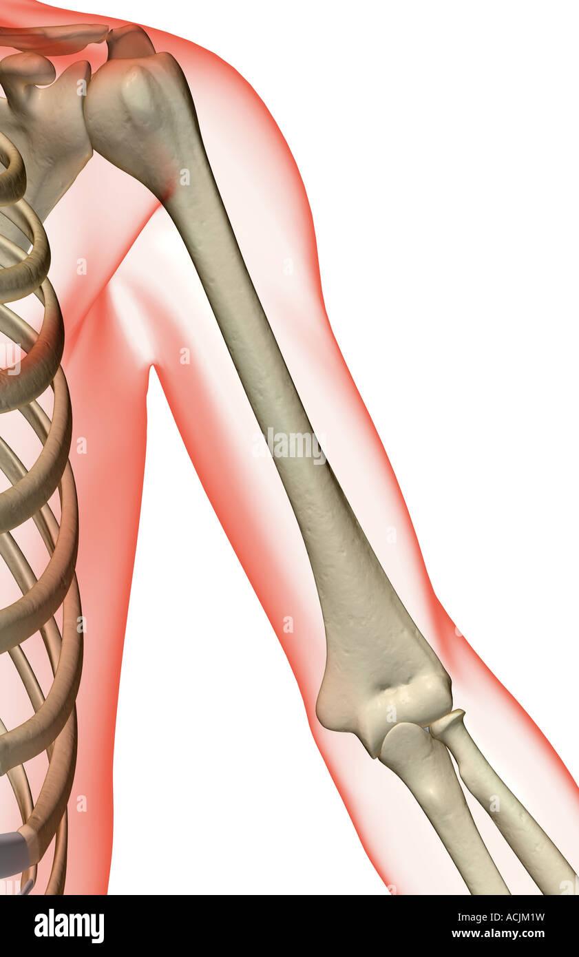 Fantastisch Zurück Schulter Knochen Anatomie Ideen - Menschliche ...