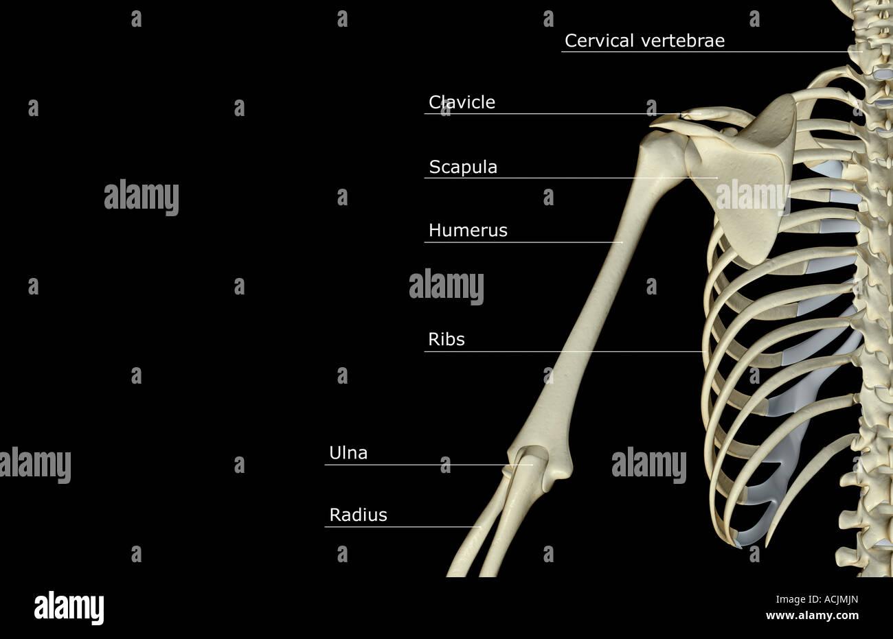 Ungewöhnlich Humerous Knochen Galerie - Menschliche Anatomie Bilder ...