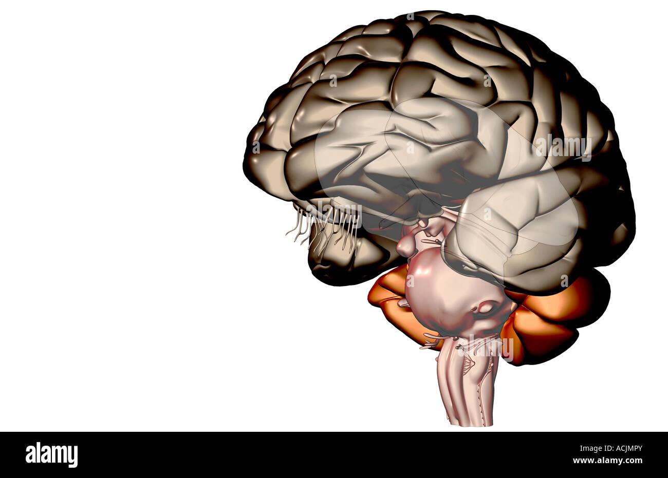 Wunderbar Körperumrissbild Fotos - Menschliche Anatomie Bilder ...