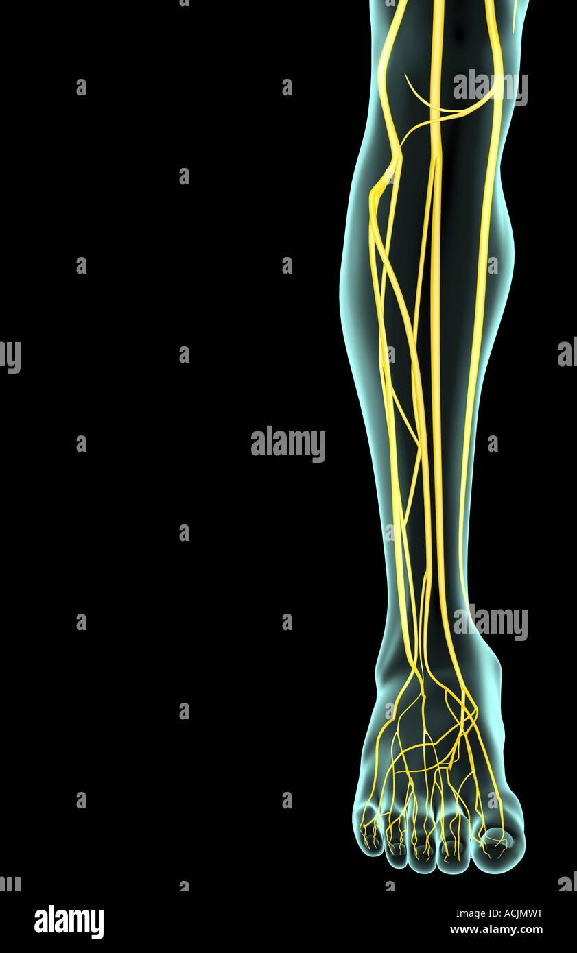 Atemberaubend Nerven Des Beines Anatomie Galerie - Menschliche ...