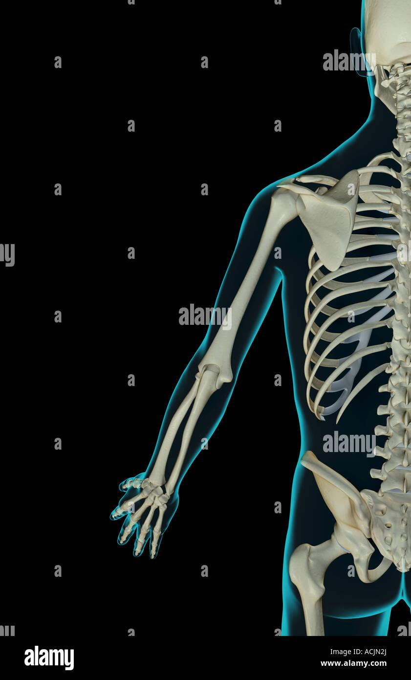 Fantastisch Obere Extremität Knochenanatomie Galerie - Anatomie Von ...