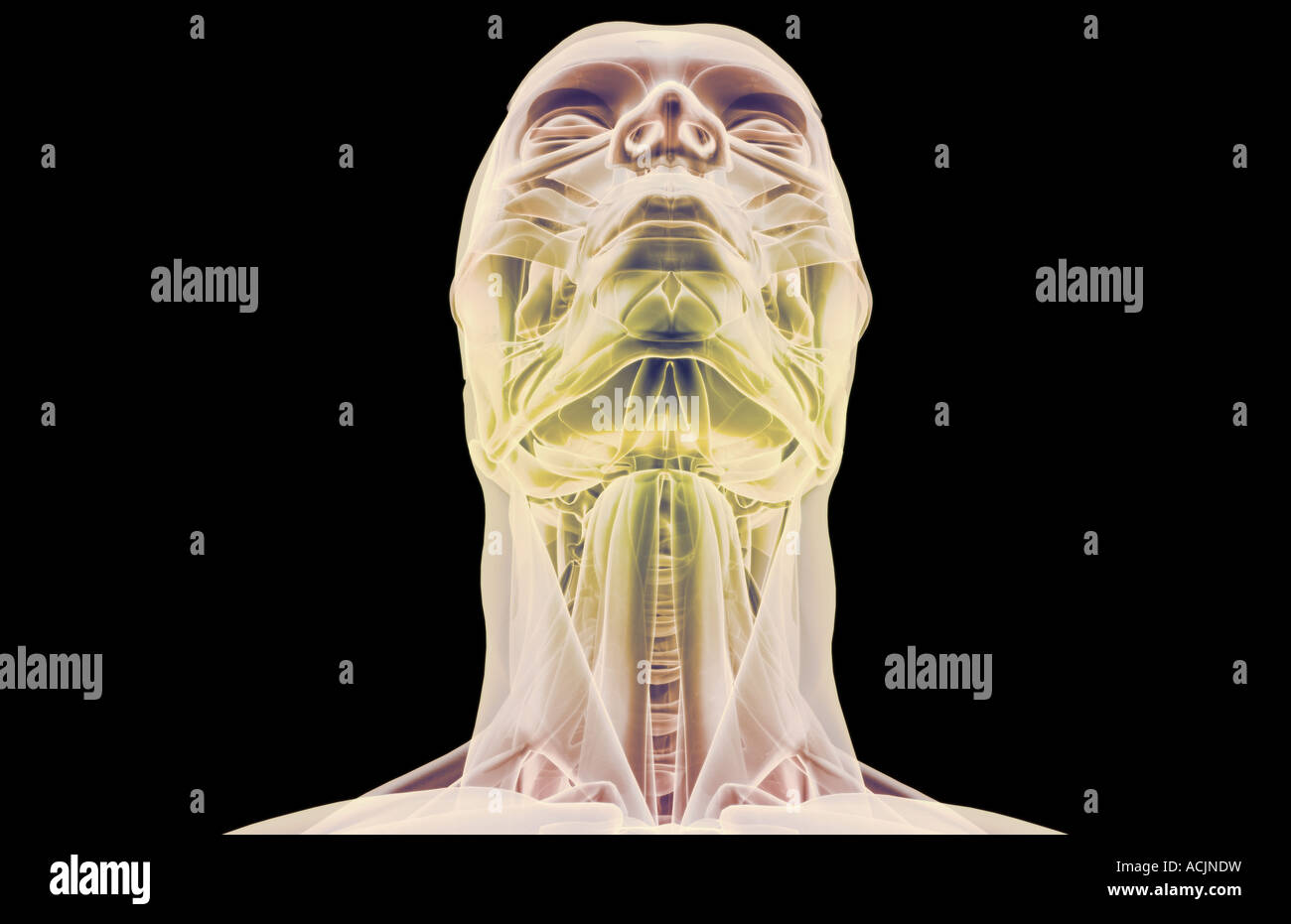 Sternohyoid Stockfotos & Sternohyoid Bilder - Alamy