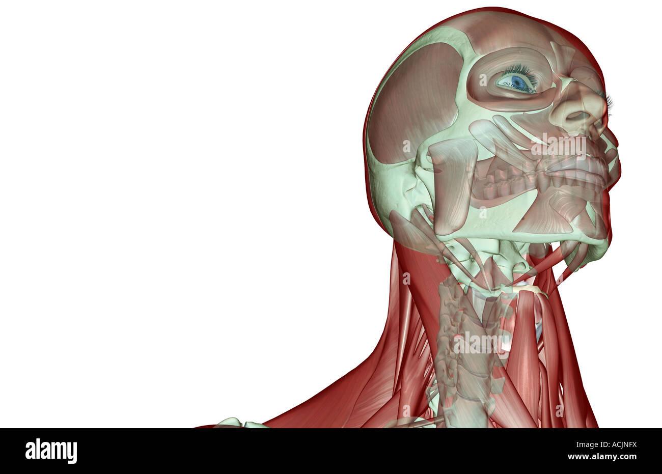 Großzügig Hals Anatomie Zeitgenössisch - Anatomie Und Physiologie ...