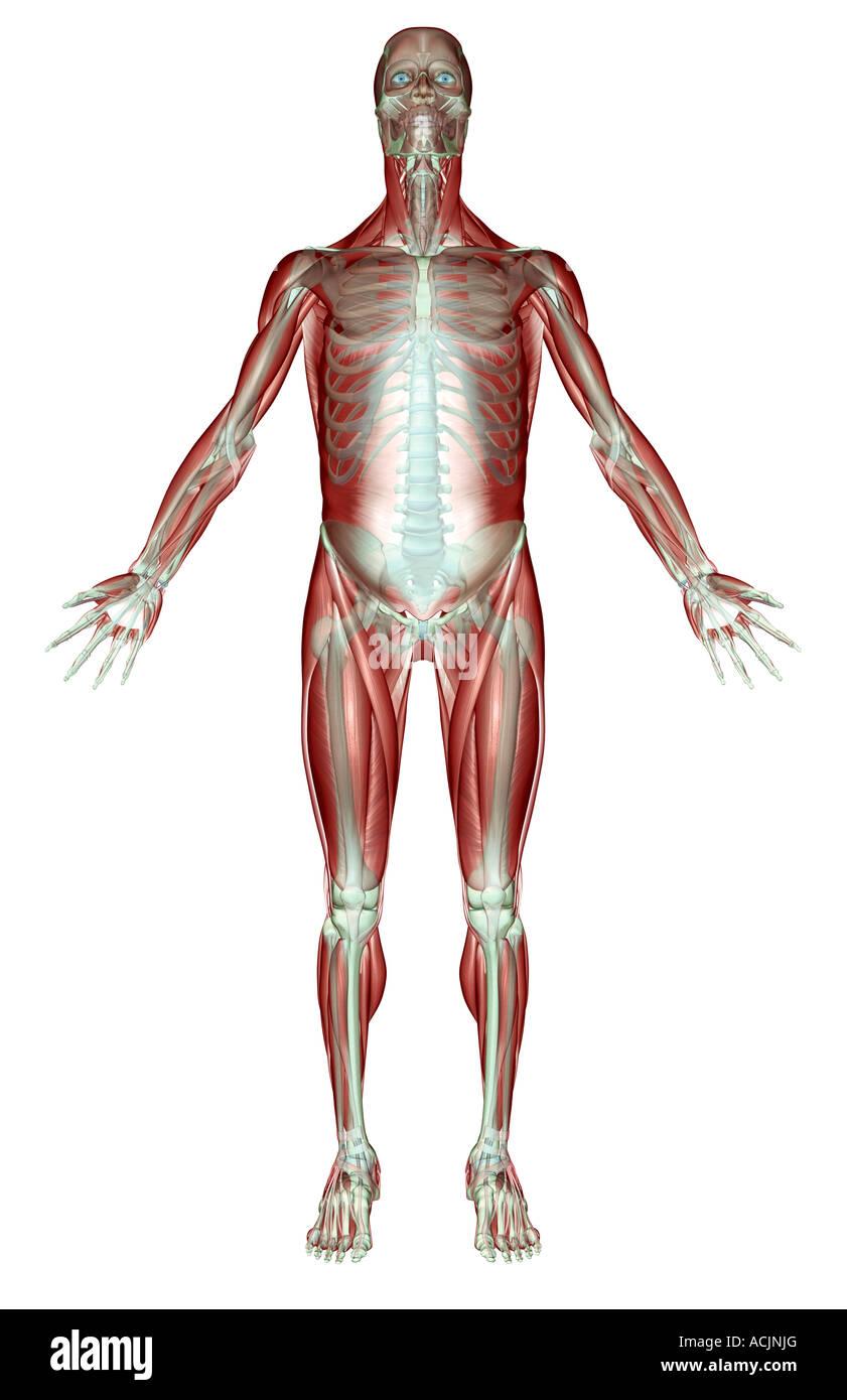Beste Skelett Sysytem Fotos - Anatomie Von Menschlichen ...