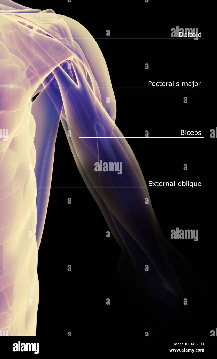 Die Muskeln der Schulter und Oberarm Stockfoto, Bild: 13172695 - Alamy