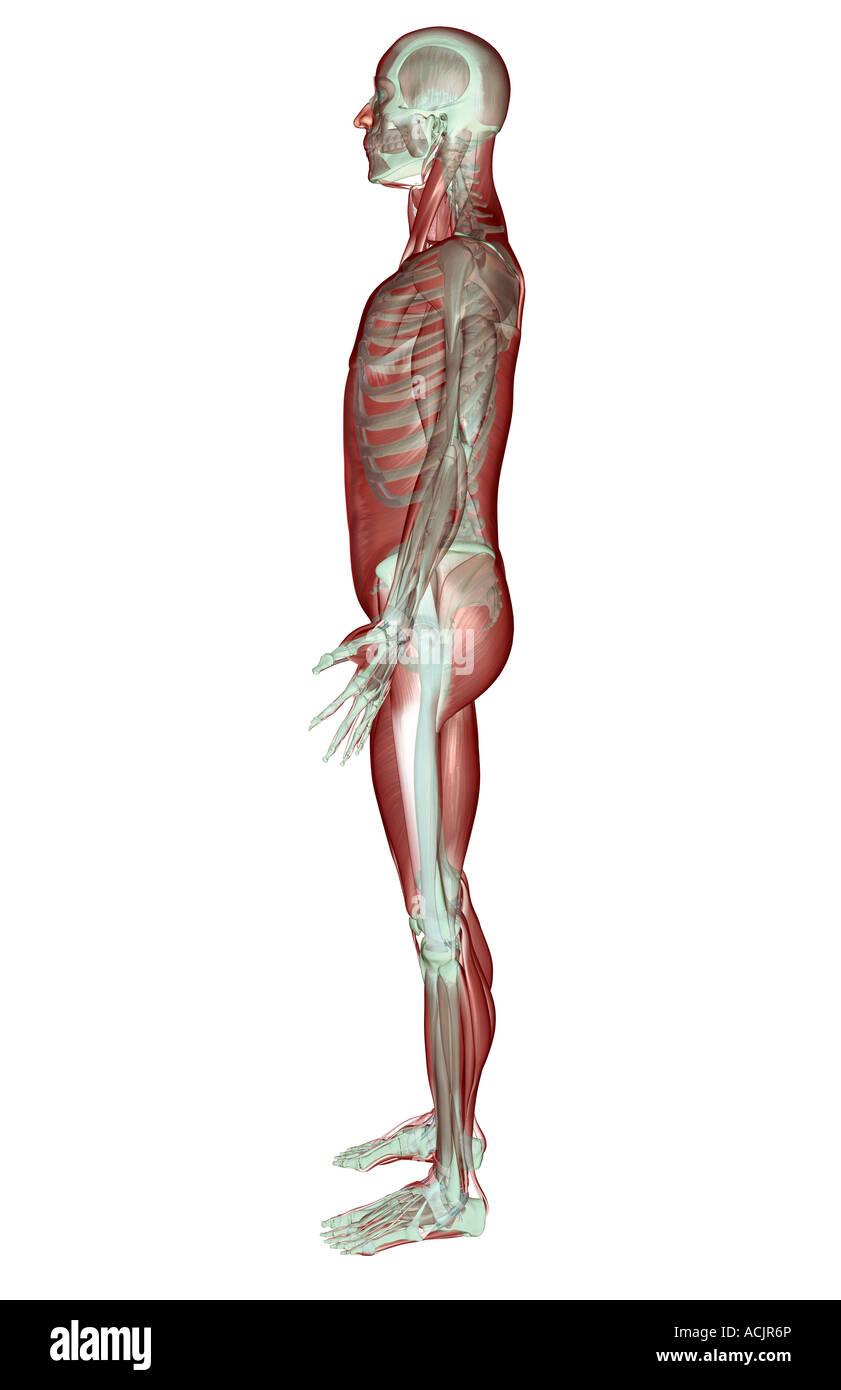 Das Muskel-Skelett-system Stockfoto, Bild: 13172733 - Alamy