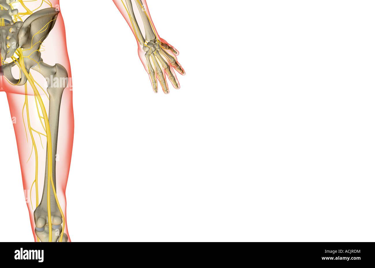 Die Nerven der Hüfte Stockfoto, Bild: 13172815 - Alamy
