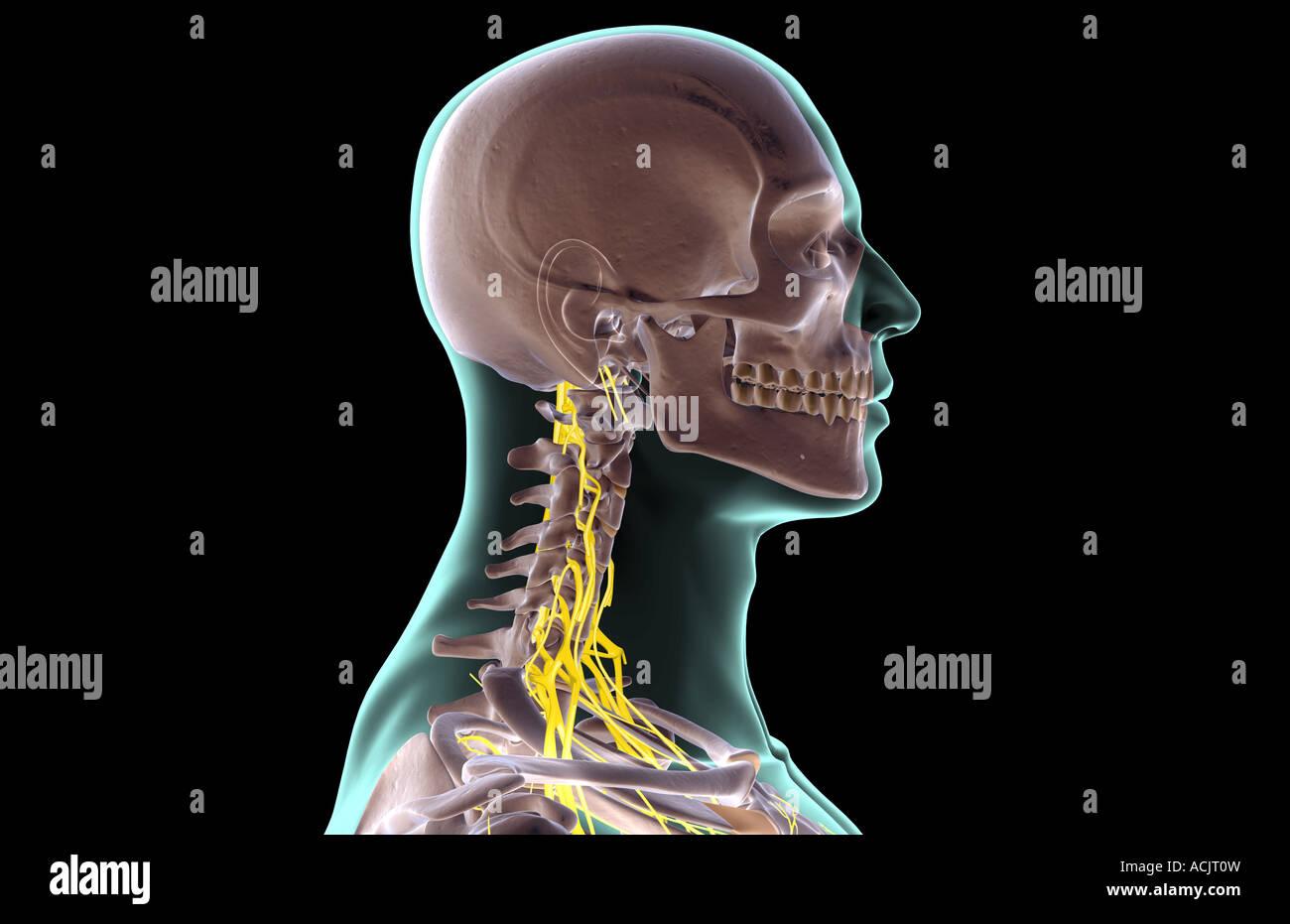Nerves Neck Stockfotos & Nerves Neck Bilder - Seite 3 - Alamy