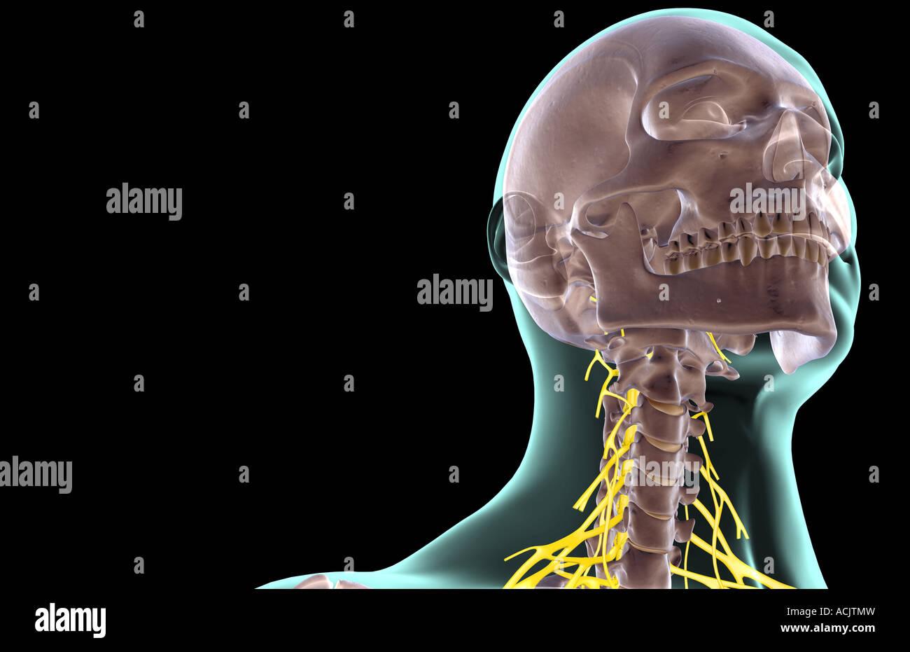 Die Nerven des Halses Stockfoto, Bild: 13173240 - Alamy