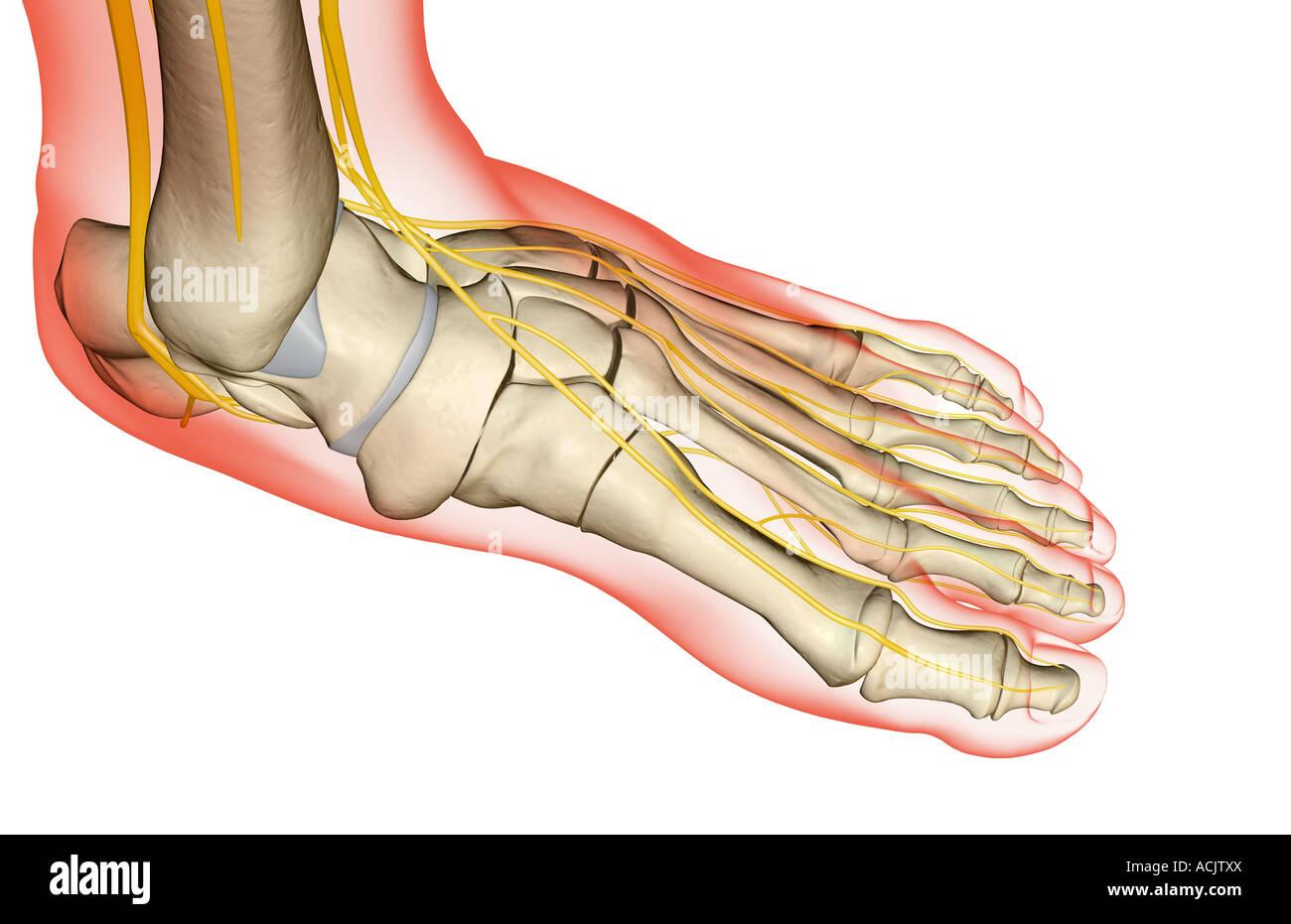 Die Nerven des Fußes Stockfoto, Bild: 13173313 - Alamy