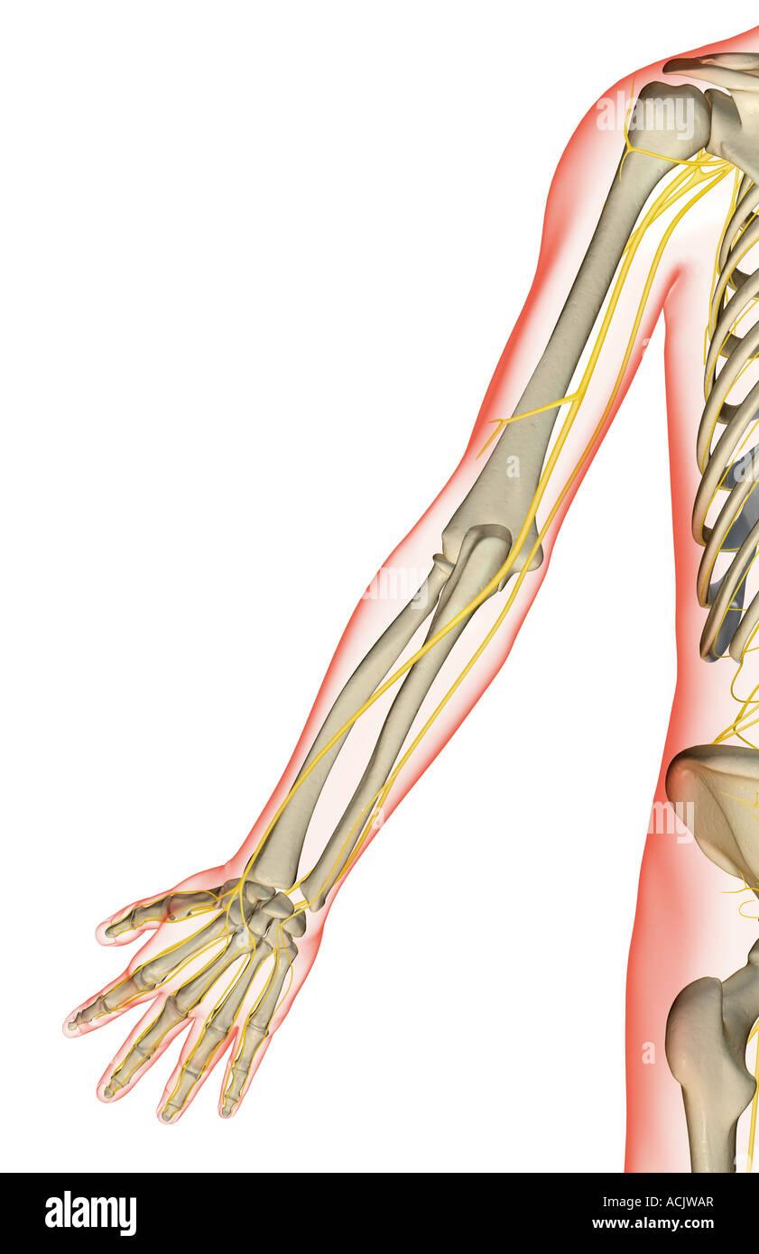 Nerves Arm Stockfotos & Nerves Arm Bilder - Seite 3 - Alamy