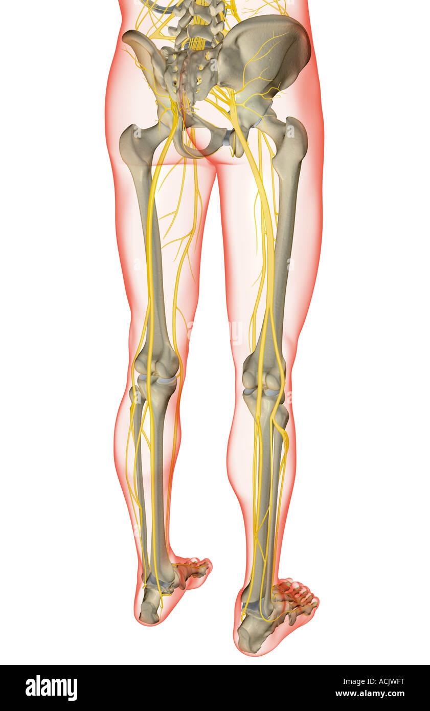 Die Nerven der unteren Körperhälfte Stockfoto, Bild: 13173515 - Alamy