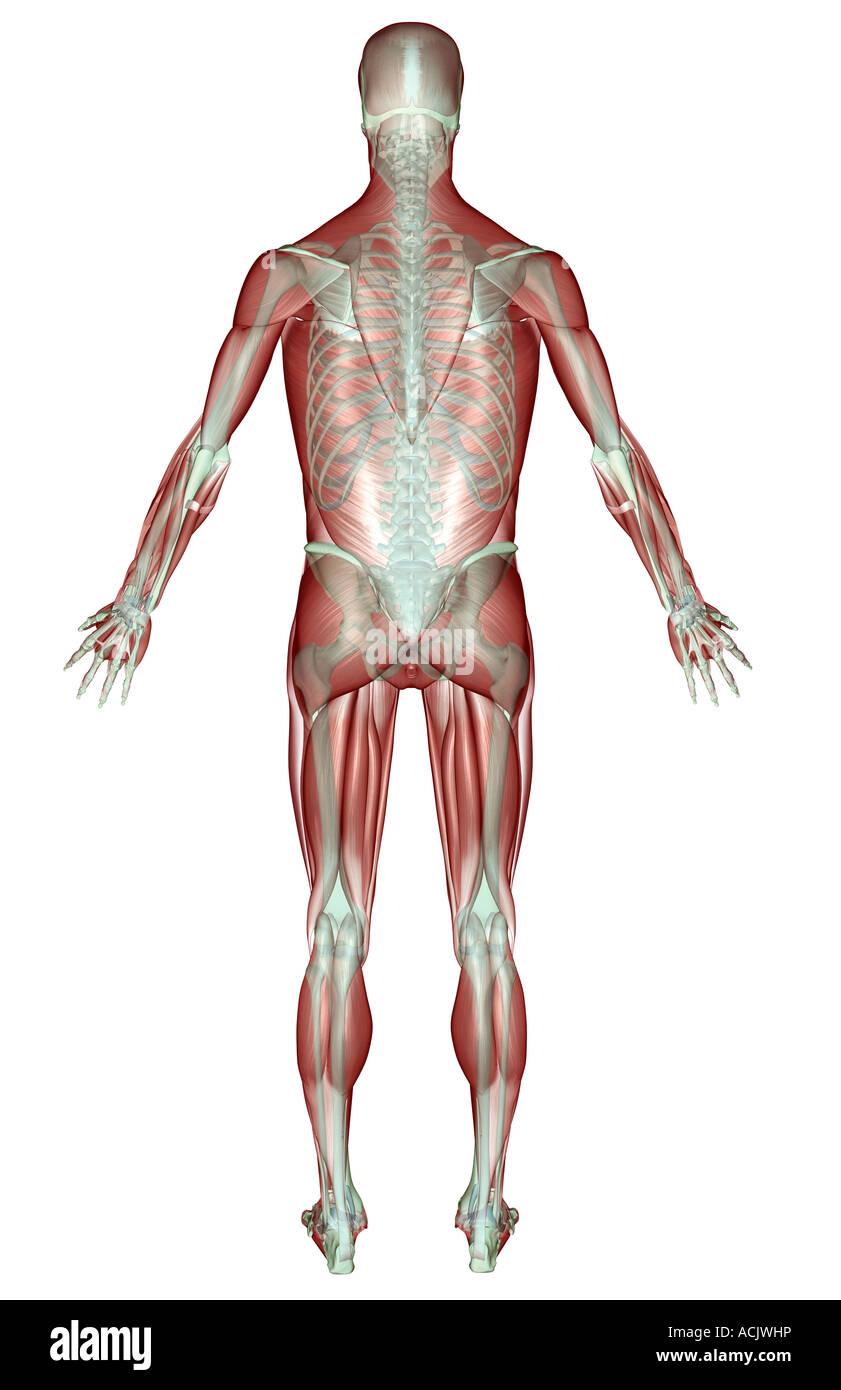 Fein Kapitel 10 Anatomie Der Muskulatur Ideen - Menschliche Anatomie ...