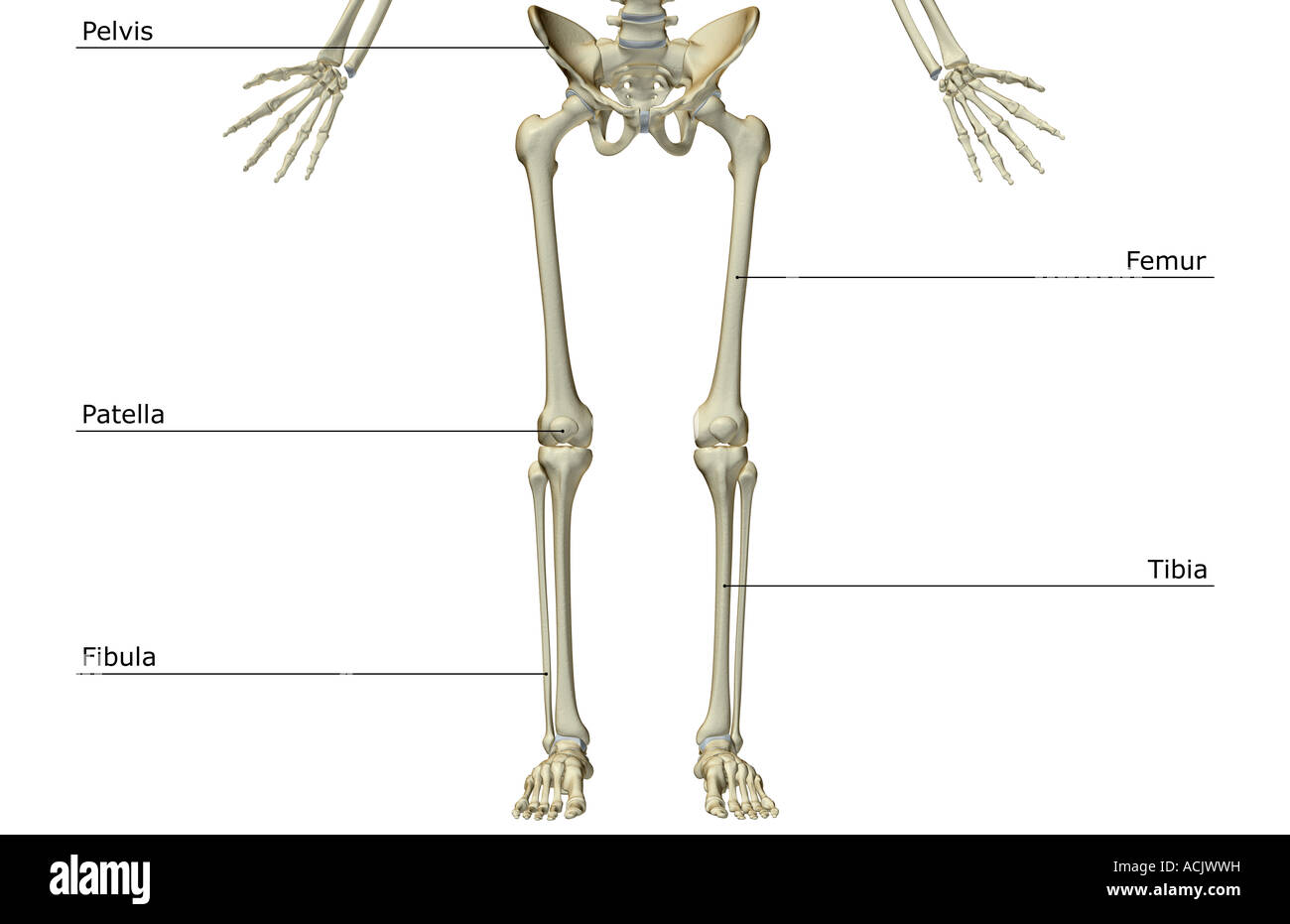 Lower Body Bones Stockfotos & Lower Body Bones Bilder - Alamy