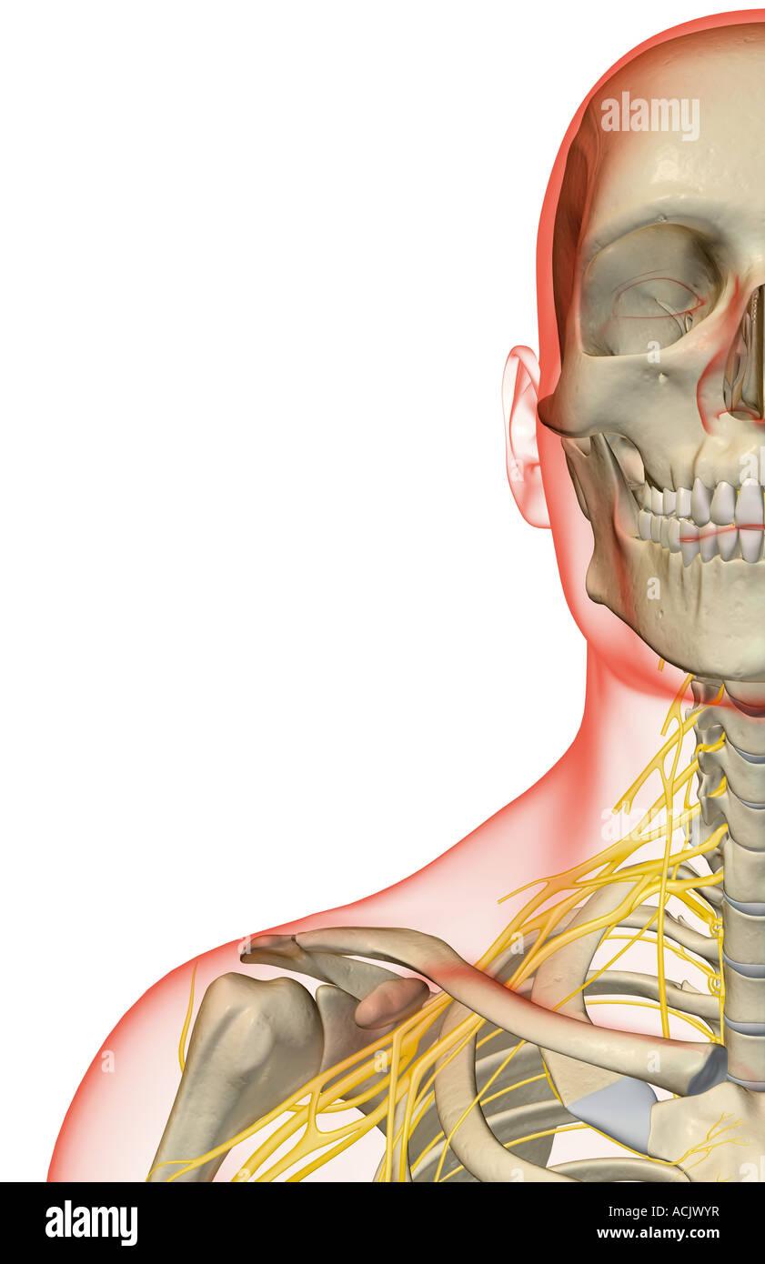 Niedlich Nerven Des Kopfes Und Des Halses Fotos - Anatomie Von ...