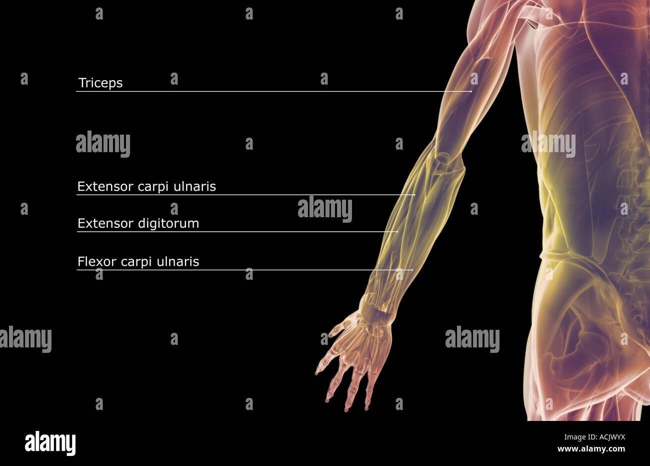 Ziemlich Obere Extremität Anatomie Notizen Bilder - Menschliche ...