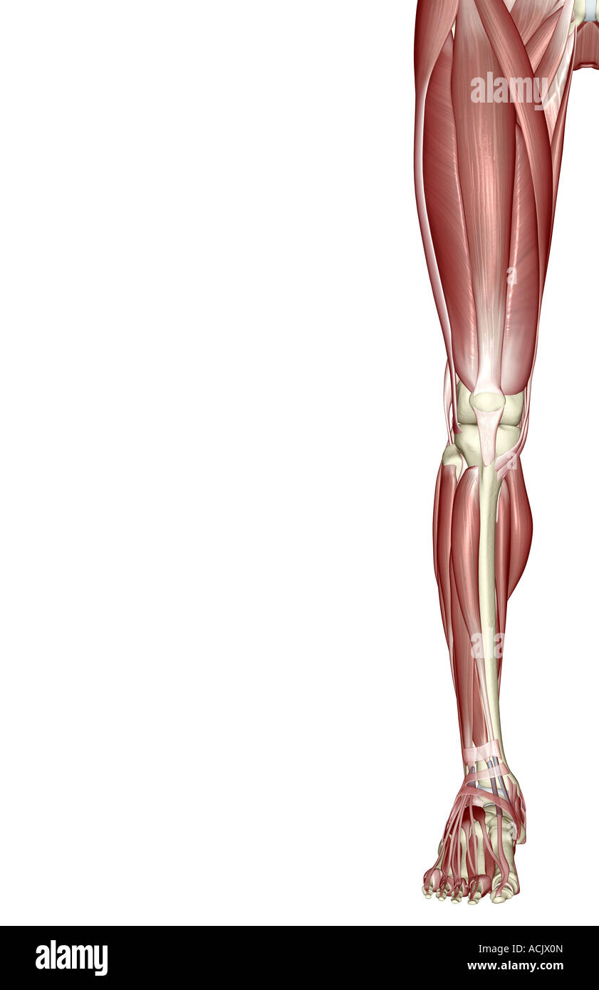 Ungewöhnlich Untere Anatomie Gliedmaßen Muskel Zeitgenössisch ...