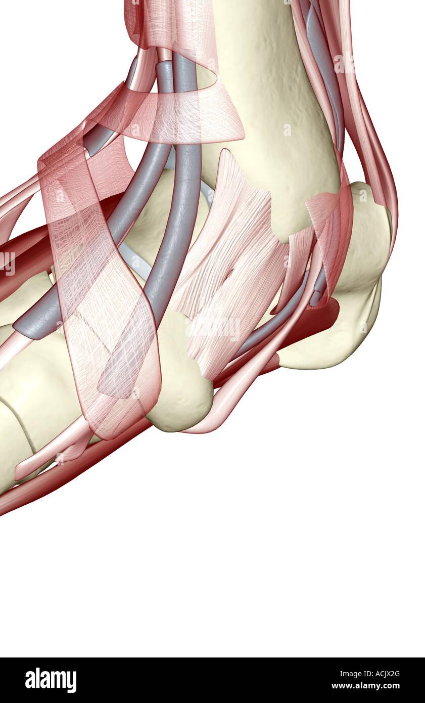 Ausgezeichnet Shin Muskeln Anatomie Galerie - Anatomie Von ...