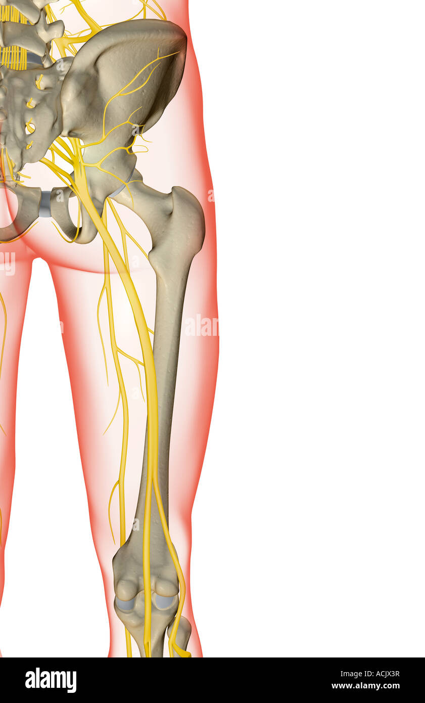 Fantastisch Untere Extremität Nerven Anatomie Bilder - Menschliche ...