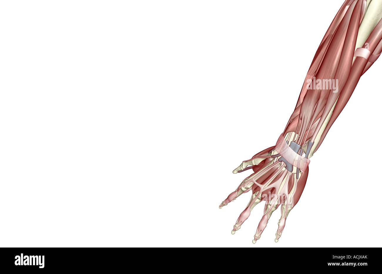 Ausgezeichnet Muskeln Von Arm Und Unterarm Bilder - Menschliche ...
