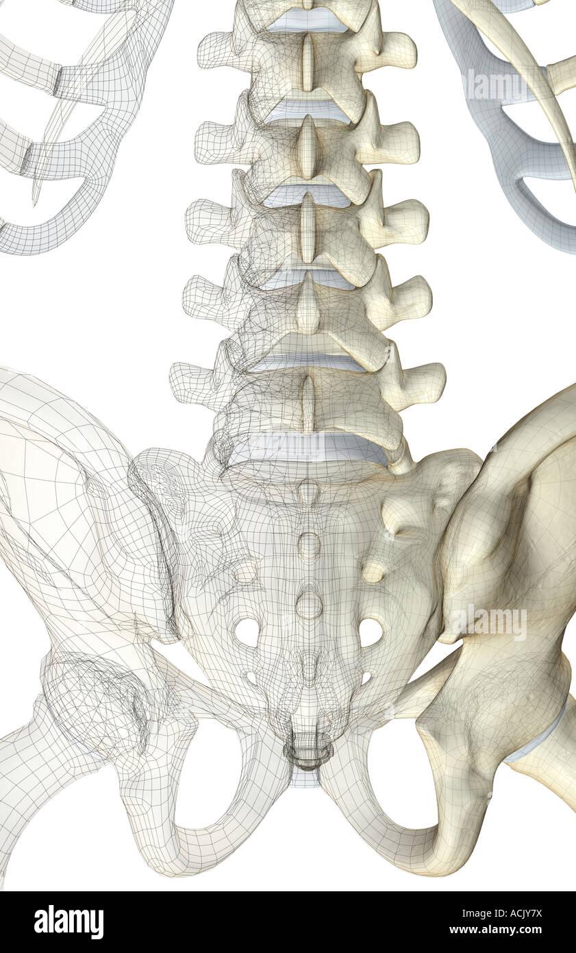 Atemberaubend Knochen Im Unteren Rücken Fotos - Menschliche Anatomie ...