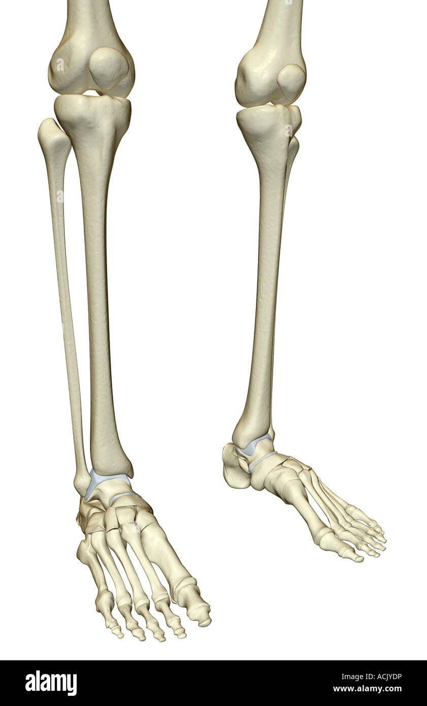 Berühmt Knochen Anatomie Des Beines Fotos - Menschliche Anatomie ...
