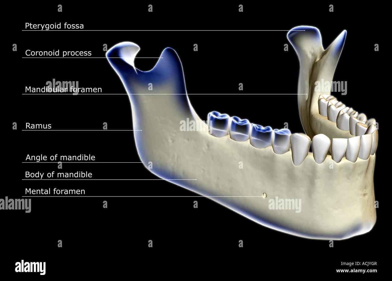 Der Kieferknochen Stockfoto, Bild: 13174198 - Alamy