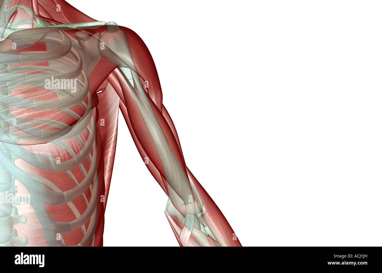Upper Arm Muscles Stockfotos & Upper Arm Muscles Bilder - Alamy