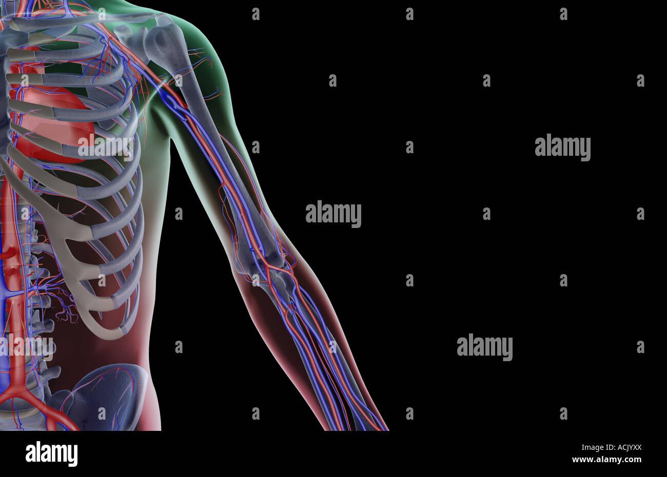 Das Blut-Versorgungsmaterial der oberen Extremität Stockfoto, Bild ...