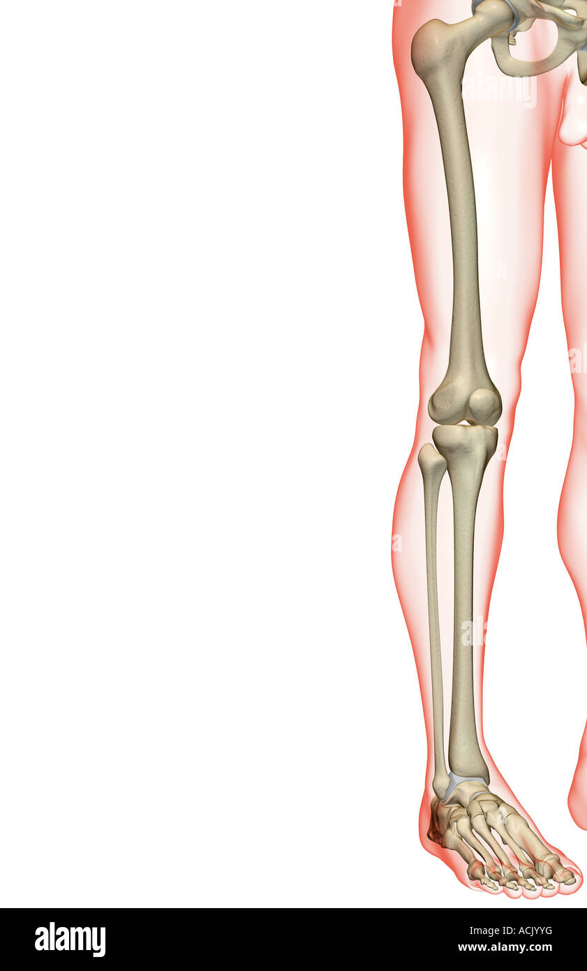 Lower Leg Bones Stockfotos & Lower Leg Bones Bilder - Alamy