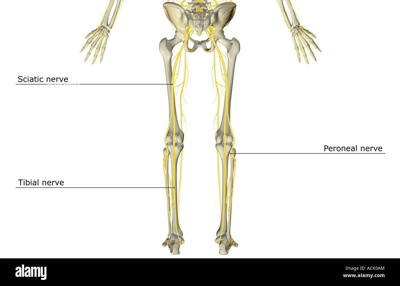 Groß Psyatic Nerven Galerie - Anatomie Und Physiologie Knochen ...