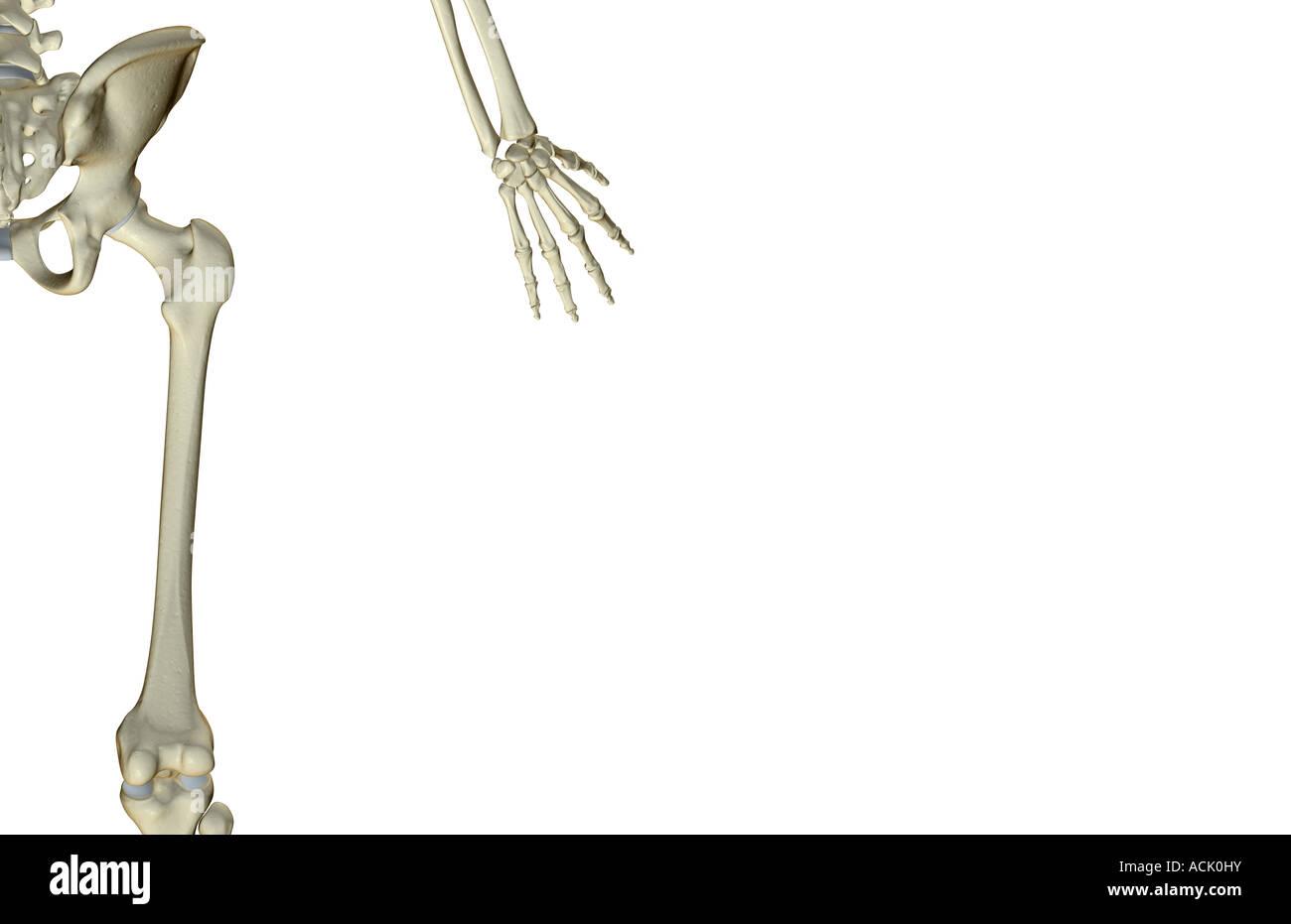 Bones Of The Hip Stockfotos & Bones Of The Hip Bilder - Alamy