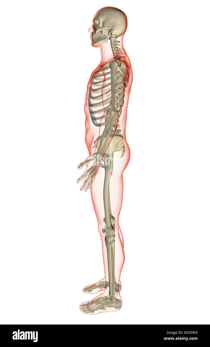 Tolle Bilder Skelett System Fotos - Anatomie Ideen - finotti.info