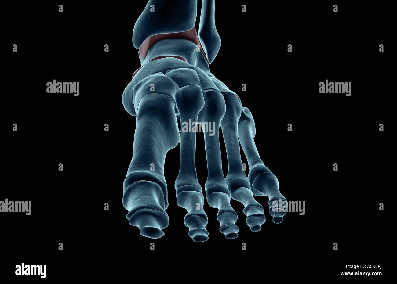 Die Knochen des Fußes Stockfoto, Bild: 13174613 - Alamy