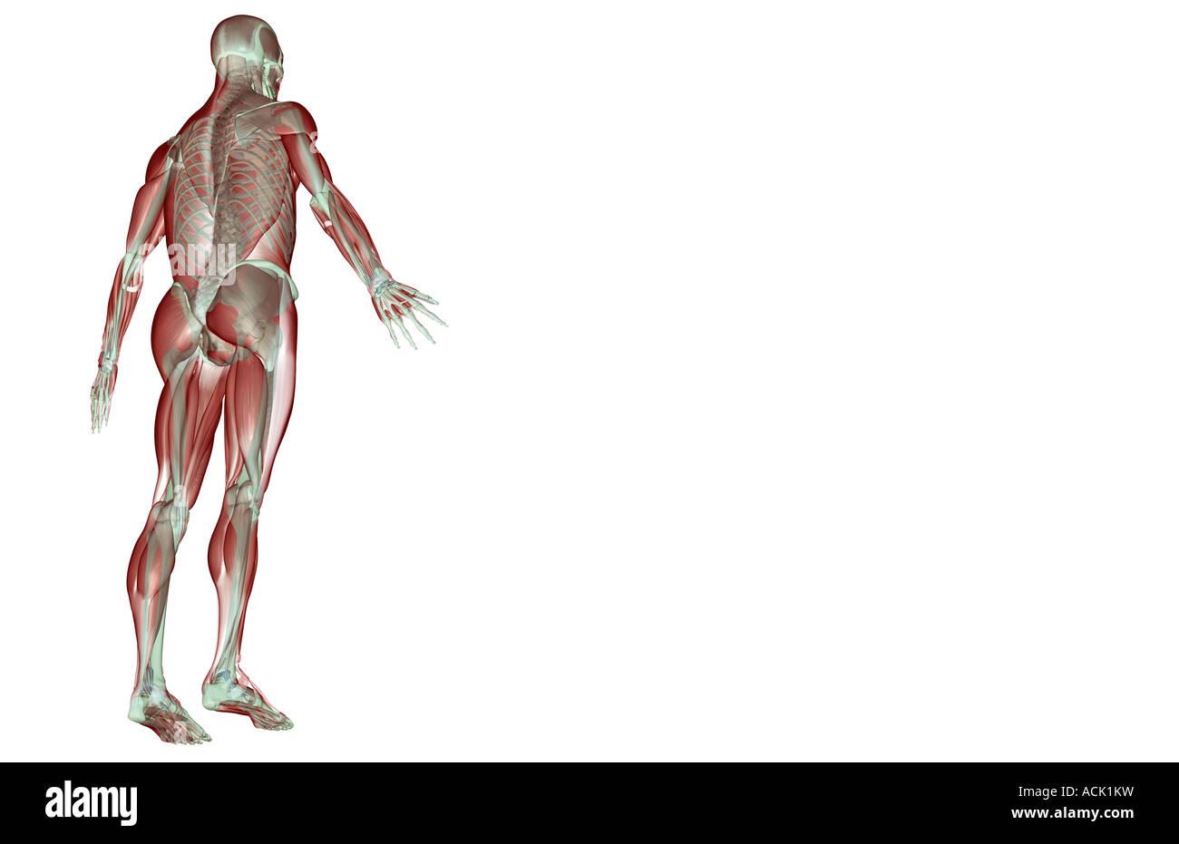 Ungewöhnlich Muskel Skelett System Anatomie Galerie - Physiologie ...